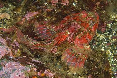 Red Irish Lord (Hemilepidotus hemilepidotus) hiding in a crevice, Vancouver Island, Canada  -  Norbert Wu