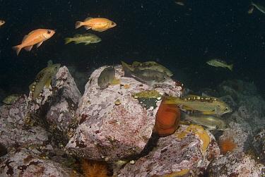Yellowtail Rockfish (Sebastes flavidus) and Widow Rockfish (Sebastes entomelas), Vancouver Island, Canada  -  Norbert Wu
