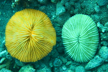 Mushroom Coral (Fungiidae) show fluorescence (and not) under normal daylight filtered by seaswater, 40 feet deep, Komodo Island, Indonesia. Sequence 1 of 2  -  Norbert Wu
