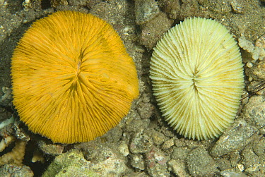 Mushroom Coral (Fungiidae) don't show flourescence as much when illuminated by the light of a camera flash, 40 feet deep, Komodo Island, Indonesia. Sequence 2 of 2  -  Norbert Wu