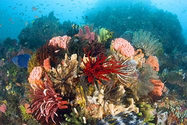 Reef scene with feather stars, Komodo Island, Indonesia  -  Norbert Wu
