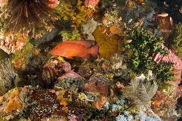 Coral Grouper (Cephalopholis miniata) in reef, Komodo Island, Indonesia  -  Norbert Wu