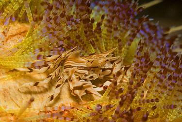 Adam's Urchin Crab (Zebrida adamsii) living among venomous spines of sea urchin, Komodo Island, Indonesia  -  Norbert Wu