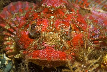 Red Irish Lord (Hemilepidotus hemilepidotus), Vancouver Island, British Columbia, Canada  -  Norbert Wu