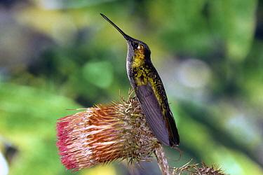 Magnificent Hummingbird (Eugenes fulgens) male perched on flower of Giant Thistle (Cirsium subcoriaceum), Cerro de la Muerte, Costa Rica  -  Michael & Patricia Fogden