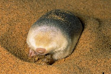 Grant's Golden Mole (Eremitalpa granti) predating Namib Sand Gecko (Palmatogecko rangei), Namib Desert, Namibia  -  Michael & Patricia Fogden
