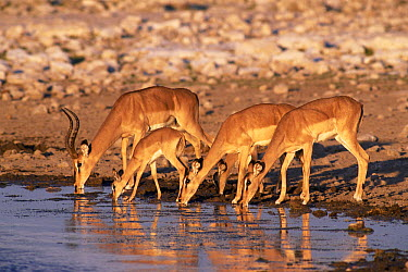 Black-faced Impala (Aepyceros melampus petersi) male, females, and young drinking at waterhole, Etosha National Park, Namibia  -  Michael & Patricia Fogden
