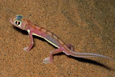 Namib Sand Gecko (Palmatogecko rangei) on sand dunes, Namib Desert, Namibia  -  Michael & Patricia Fogden
