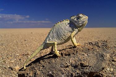 Namaqua Chameleon (Chamaeleo namaquensis) thermoregulating, Namib Desert, Namibia  -  Michael & Patricia Fogden