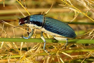 True Weevil (Leptostethus sp) on reed, Namib Desert, Namibia  -  Michael & Patricia Fogden