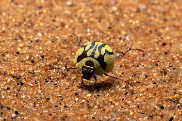 Darkling Beetle (Eucomaria sp) in defensive posture, note yellow wax deposit for heat regulation, Namib Desert, Namibia  -  Michael & Patricia Fogden