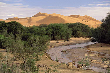 Kuiseb River on a rare day when it flows showing donkeys arriving to drink, Namib Desert, Namibia  -  Michael & Patricia Fogden
