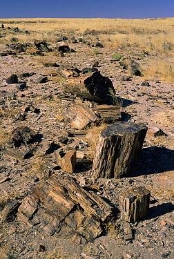 Petrified logs, Damaraland, Namib Desert, Namibia  -  Michael & Patricia Fogden