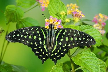 Green-spotted Swallowtail (Graphium tynderaeus) butterfly, Tangkoko Batuangus Reserve, Indonesia  -  Michael & Patricia Fogden