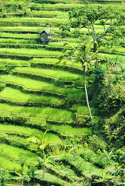 Terraced rice paddies, Bali, Sulawesi, Indonesia  -  Michael & Patricia Fogden