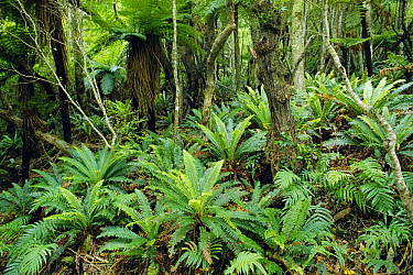 Tree Fern (Dicksonia sp) and ground cover of Crown Ferns (Blechnum discolor) in temperate rainforest, Stewart Island, New Zealand  -  Michael & Patricia Fogden