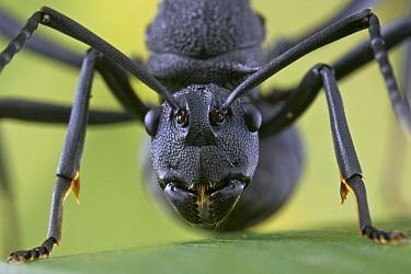 Spiny Ant (Polyrhachis armata), newly mated queen, Virachey National Park, Cambodia  -  Piotr Naskrecki
