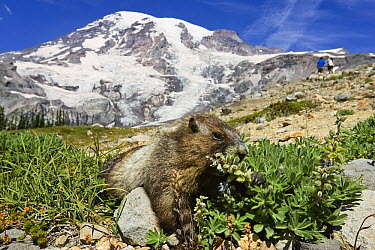 Hoary Marmot (Marmota caligata) feeding with hikers in the background, Mount Rainier National Park, Washington  -  Konrad Wothe