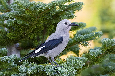 Clark's Nutcracker (Nucifraga columbiana) in pine, Mount Rainier National Park, Washington  -  Konrad Wothe