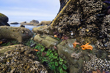 Giant Green Sea Anemone (Anthopleura xanthogrammica) group, Goose Barnacles (Lepas anserifera) group and Ochre Sea Stars (Pisaster ochraceus) at low tide, Olympic National Park, Washington  -  Konrad Wothe