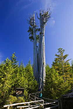 Western Red Cedar (Thuja plicata) tree, largest specimen in the world at 178 feet tall, Olympic National Park, Washington  -  Konrad Wothe