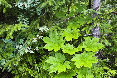 Devil's Club (Oplopanax horridus) leaves, Mitkof Island, southeast Alaska  -  Konrad Wothe