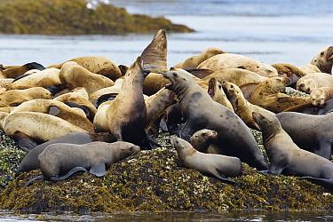 Steller's Sea Lion (Eumetopias jubatus) group hauled out on rocks, Inside Passage, Alaska  -  Konrad Wothe