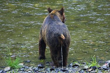 Grizzly Bear (Ursus arctos horribilis) urinating on riverbank, Pack Creek, Tongass National Park, Admiralty Island, Alaska  -  Konrad Wothe