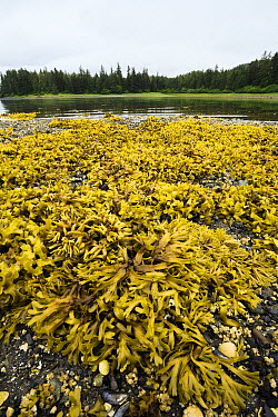 Rock Weed (Fucus gardneri) at low tide, Pleasant Bay, Admiralty Island, Alaska  -  Konrad Wothe