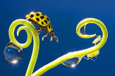 22-spot Ladybird (Psyllobora vigintiduopunctata) on a curled stalk with two waterdrops, Belgium  -  Jef Meul/ NIS