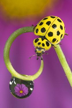 22-spot Ladybird (Psyllobora vigintiduopunctata) on a curled stalk with a waterdrop, Belgium  -  Jef Meul/ NIS