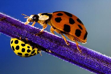 Asian Ladybird Beetle (Harmonia axyridis) and 22-spot Ladybird (Psyllobora vigintiduopunctata) on a purple stalk, Belgium  -  Jef Meul/ NIS