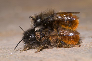 Red Mason Bee (Osmia rufa) pair mating and covered with mites, Belgium  -  Jef Meul/ NIS