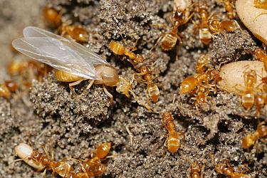 Yellow Turf Ant (Lasius flavus) with pupae, Belgium  -  Jef Meul/ NIS