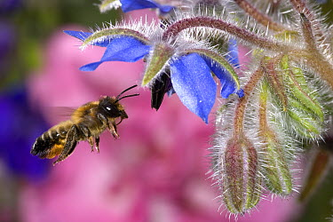 Honey Bee (Apis mellifera) hovering at Borage (Borago officinalis) flower, Belgium  -  Jef Meul/ NIS