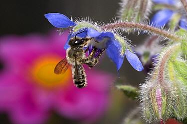 Honey Bee (Apis mellifera) foraging at Borage (Borago officinalis), Belgium  -  Jef Meul/ NIS