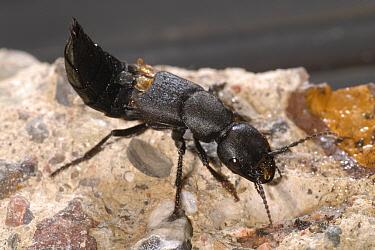 Devil's Coach-horse Beetle (Ocypus olens), Belgium  -  Jef Meul/ NIS