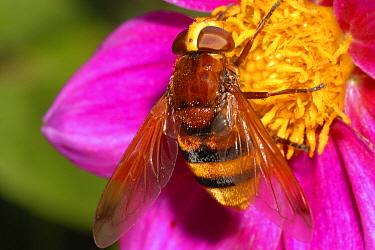 Hornet Mimic Hoverfly (Volucella zonaria) on flower, Belgium  -  Jef Meul/ NIS