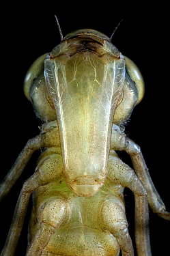 Emperor Dragonfly (Anax imperator) nymph, native to Europe  -  Loek Gerris/ NiS