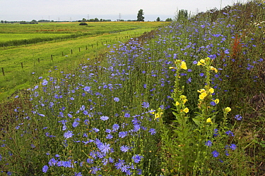 Chicory (Cichorium sp) and Large-flowered Evening Primroses (Oenothera erythrosepala) on a dike, Waalarea, Netherlands  -  Aad Schenk/ NiS