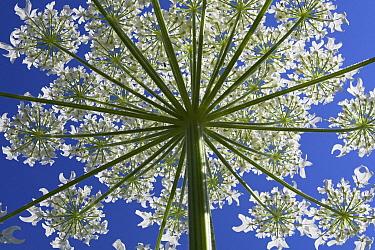 Giant Hogweed (Heracleum mantegazzianum) in bloom, Netherlands  -  Aad Schenk/ NiS
