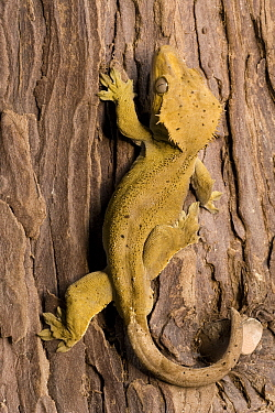 Eyelash Gecko (Rhacodactylus ciliatus) on tree trunk, native to Caledonia  -  Dennis Lorenz/ BIA