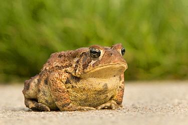 American Toad (Bufo americanus) resting on gravel road, Michigan  -  Dennis Lorenz/ BIA