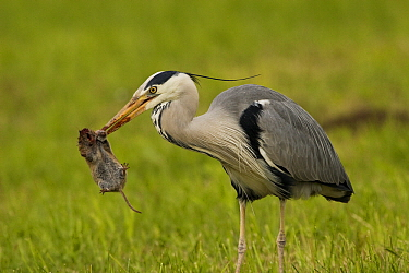 Grey Heron (Ardea cinerea) with caught vole in its bill, Switzerland  -  Dennis Lorenz/ BIA