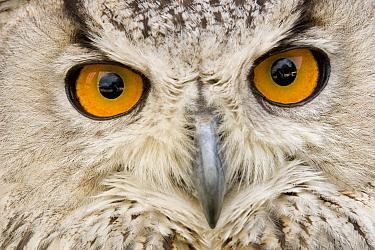 Eurasian Eagle-Owl (Bubo bubo) portrait, Switzerland  -  Dennis Lorenz/ BIA