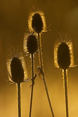 Creeping Thistle (Cirsium arvense) group, Michigan  -  Dennis Lorenz/ BIA