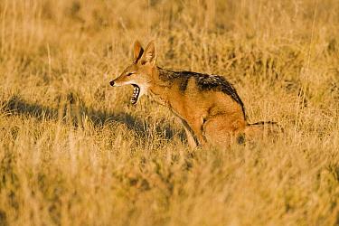 Black-backed Jackal (Canis mesomelas) yawning while defecating, Etosha National Park, Namibia  -  Chris Stenger/ Buiten-beeld