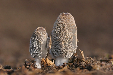 Hare's Foot (Coprinus lagopus) fungi, pair emerging, Nederwetten, Netherlands