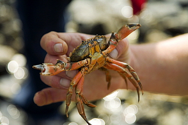 Common Shore Crab (Carcinus maenas) male, Den Helder, Netherlands  -  Bert Pijs/ NIS