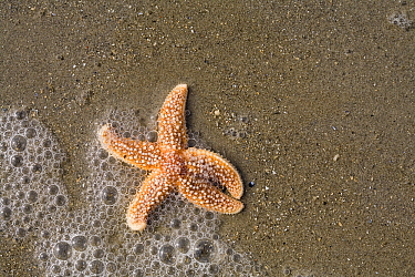 European Starfish (Asterias rubens) washed ashore, Den Helder, Netherlands  -  Bert Pijs/ NIS